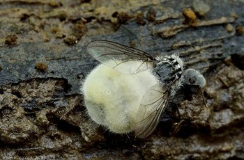Houba hmyzomorka změní samce cikád v sexem posedlé homosexuální zombie