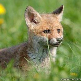 Fox71